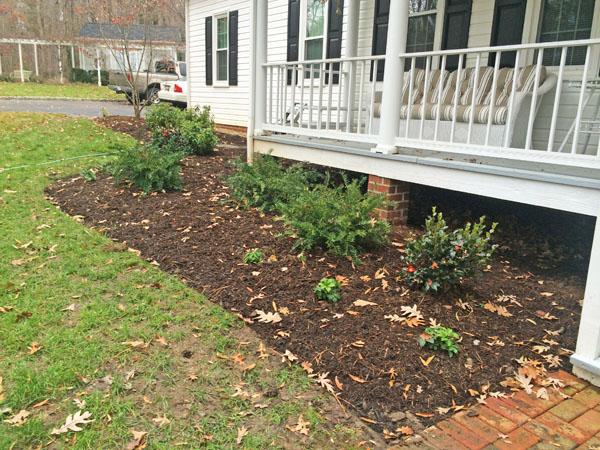 December plant features of the month for Cephalotaxus harringtonia duke gardens